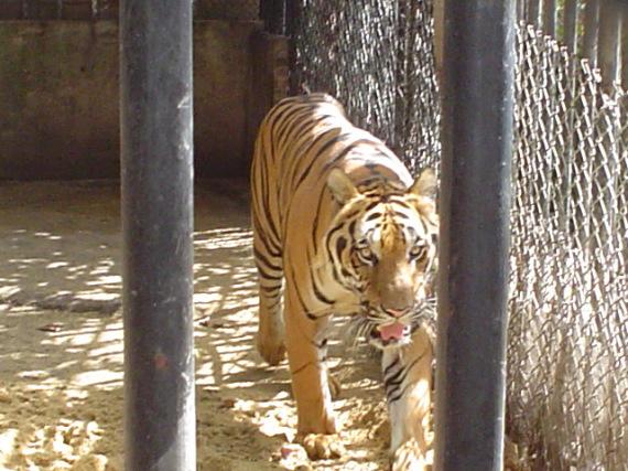Tiger in Bangkock